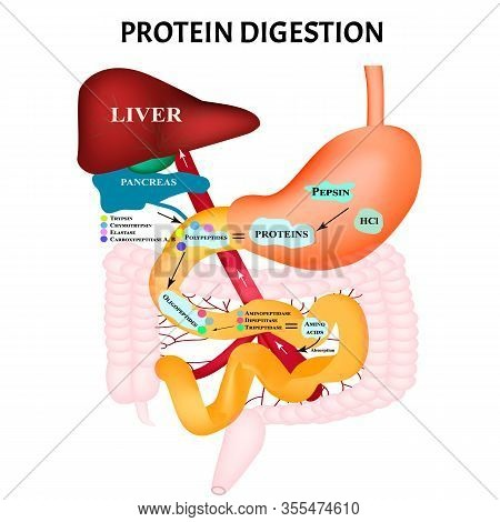 Protein Digestion. Protein Metabolism. Digestion In The Gastrointestinal Tract. Infographics. Vector