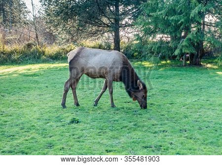 A Roosevelt Elk On A Grass Lawn In Cannon Beach, Oregon.