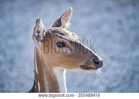 Head Shot Of A Deer.