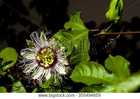Blossomed Passiflora Creeper Flower (passion Fruit) Against A Dark Background, Close-up.