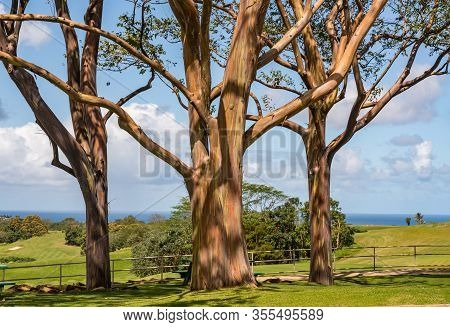 Patterns Of Branches Of The Colorful Bark Of Rainbow Eucalytpus Trees Against Background Of Golf Cou