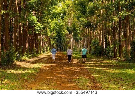 Senior Adults Walking On The Wai Koa Loop Trail Or Track Leads Through Plantation Of Mahogany Trees