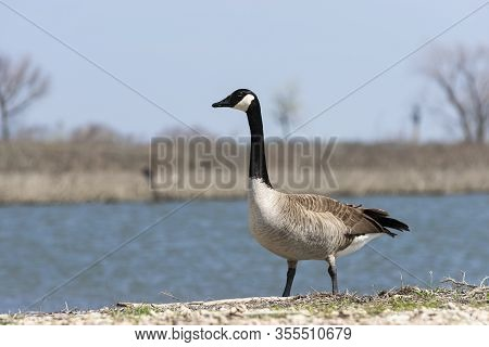 A Solitary Canada Goose Standing On The Shore Of A Lake And Looking Off To The Side With A Distant S