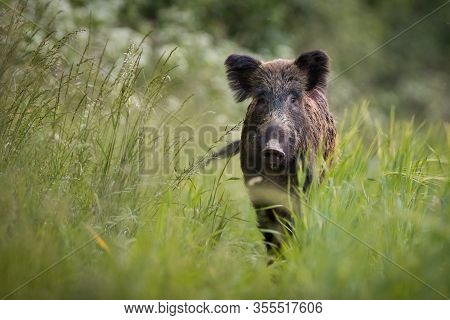 Unaware Wild Boar Approaching On Meadow With Tall Green Grass