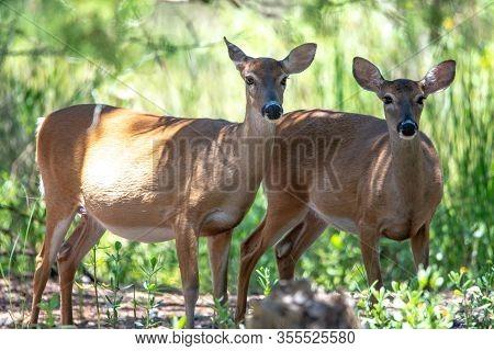 Doe White Tail Deer On Hunting Island State Park South Carolina
