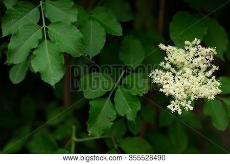 Elderberry, Sambucus Canadensis Outdoors Green Bush, Shrub With White Small Flowers Good For Bees Na