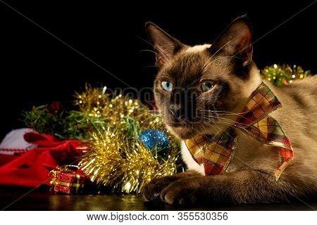 Handsome Siamese cat wearing a bow, next to Chstimas decoration, on dark background
