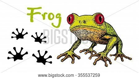 Vector Image Of A Green Tree-frog On White Background. Frog Red-eye. Sketch Of Frog, Hand Drawn Illu