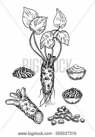 Wasabi Sketch Set. Wasabi Root, Slice , Sauce Spill, Peas Vector Drawing. Hand Drawn Sushi Ingredien