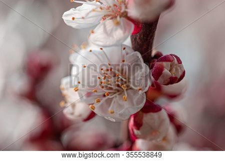 Apricot Tree Flowers In The Spring Garden Apricot Tree Flowers In The Spring Garden In Dnipro Ukrain