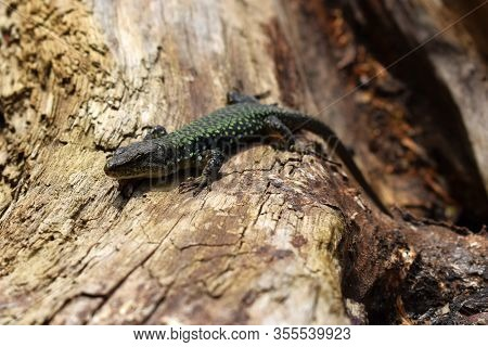 The Lizard Poses For The Photographer Without Fear. A Beautiful Lizard Is Not Afraid Of Anyone. It L