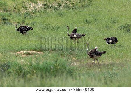 Group Of Birds Ostrich, Struthio Camelus In Green Kalahari, Desert After Rain Season. Kalahari Trans