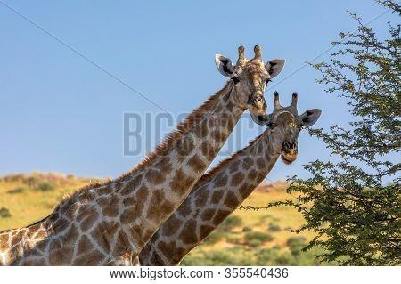 Two Cute Giraffes In Kalahari, Green Desert After Rain Season. Kgalagadi Transfrontier Park, South A