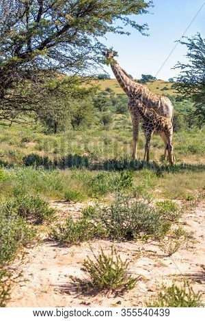 Cute Giraffe With Calf In Kalahari, Green Desert After Rain Season. Kgalagadi Transfrontier Park, So