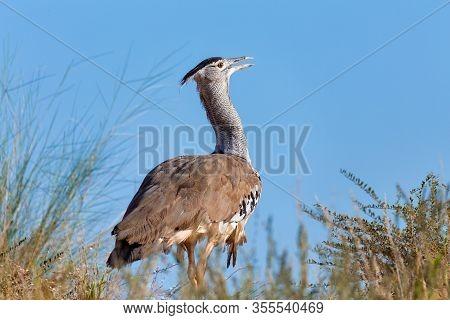 Big Bird Kori Bustard In African Bush Against Blue Sky, Kalahari South Africa, Africa Wildlife