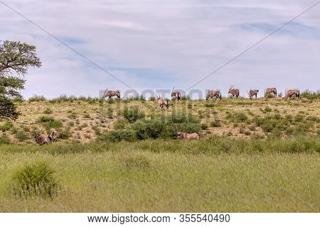 Gemsbok, Herd Of Oryx Gazella Walking On Dune In Kalahari, Green Desert After Rain Season. Kgalagadi
