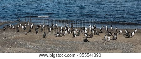 Imperial Shags, Leucocarbo Atriceps On The Beach At Punta Arenas, Chile