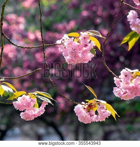 Pink Cherry Blossom Close Up On The Branch. Beaty Of Japanese Sakura Season. Wonderful Nature Backgr