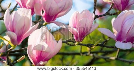 Blossom Of Magnolia Tree. Beautiful Pink Flowers On The Branches In Sunlight. Wonderful Spring Natur