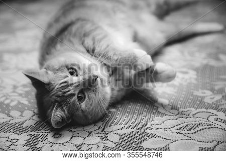 Adult Tabby Cat Lays Playfully On A Table. Black And White  Photo.