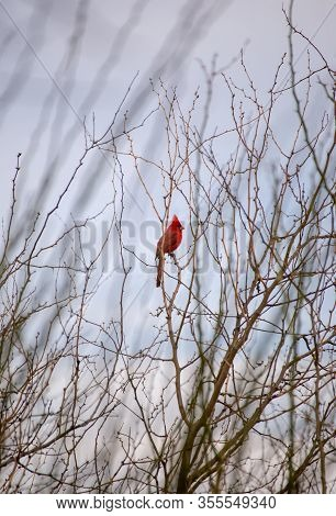 A Bright-red Cardinal Bird Sits On The Branch Of A Tree In The Sonoran Desert Of Arizona.