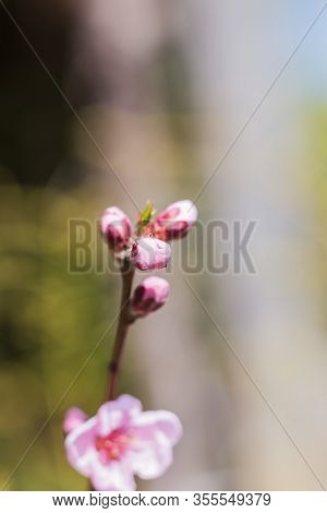 Details Of Pink Cherry Blossom Tree Buds In Bloom.