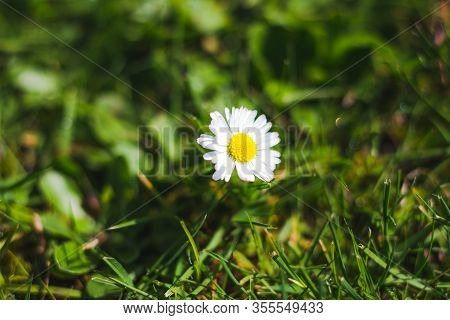 A Small Daisy Flower Absorbs Sunlight On A Bright And Warm Day.