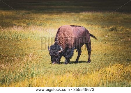 A Large Male Bison Chews On Grass In The Sunlight In Western Montana, Usa.