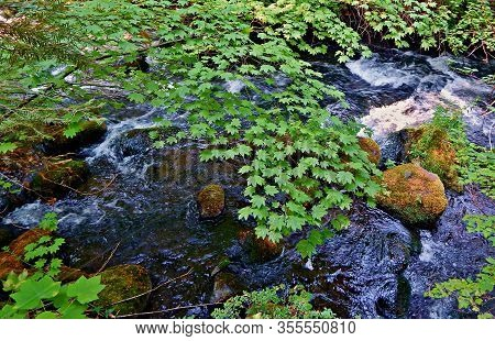 Maple Leaf Creek - A View Along Lake Creek - West Of Camp Sherman, Or