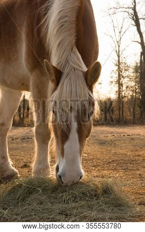Belgian draft horse eating hay with rising sun behind him in early morning