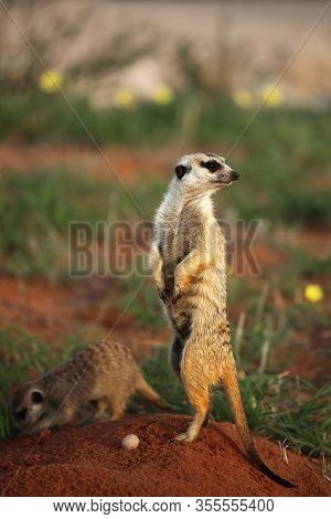 The Meerkat Or Suricate (suricata Suricatta) Is Keeping Watch In Typical Position Close To Their Hol