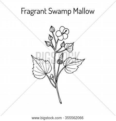 Fragrant Swamp Mallow Pavonia Odorata , Medicinal Plant. Hand Drawn Botanical Vector Illustration
