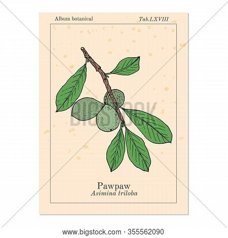 Paw-paw Asimina Triloba , Medicinal Plant. Hand Drawn Botanical Vector Illustration