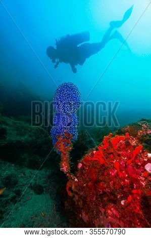 Underwater Photo Of A Scuba Diver And Blue Soft Coral. From A Scuba Dive At Koh Lipe In Thailand.
