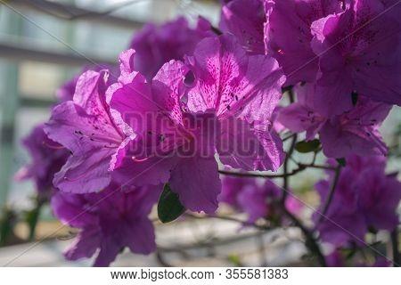 Delightful Red Azalea Flowers. Pink Azalea Bush In Greenhouse. Beautiful Flowers. Season Of Flowerin