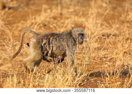 The Chacma Baboon (papio Ursinus), Also Known As The Cape Baboon. Mother Baboon With Baby Under Her