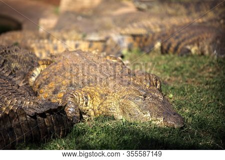 The Nile Crocodile (crocodylus Niloticus), Portrait Of A Great Nile Crocodile In Grass With Others I