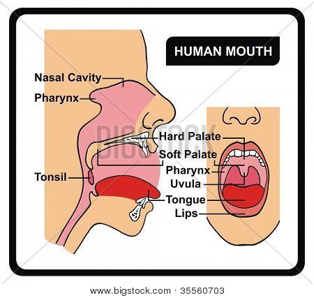 Vector - Human Mouth Anatomy