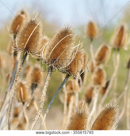 Dry Inflorescences Of Wild Teasel (dipsacus Fullonum) On A Meadow