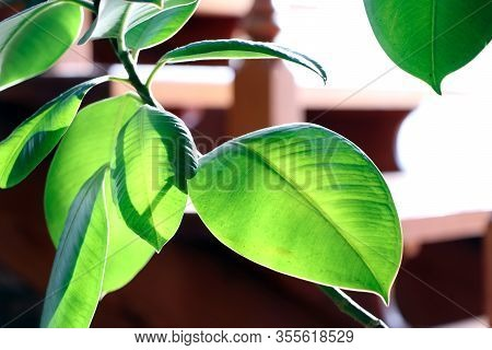 A Ficus. Green Leaves Of A Tropical Flower Ficus. Home Plants.