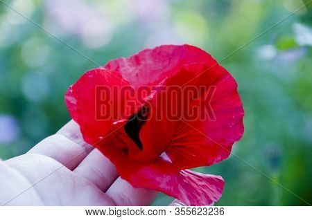 Red Poppy Flower In Human Hand. Lest We Forget. Summer Nature Beauty. Spring Coming. Bright Red Popp
