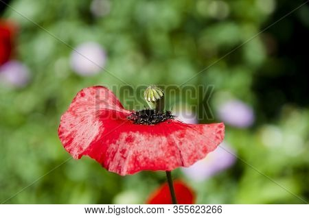 Summer Season. Red Poppy Flower. Lest We Forget. Poppy. International Day Of Remembrance. Summer Nat