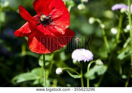 Summer And Spring. Spring Is Coming. Bright Red Poppy Flower. Red Poppy Flower. Summer Nature Beauty
