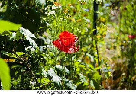 Natural Drugs. Red Poppy Flower. Lest We Forget. Poppy. International Day Of Remembrance. Anzac Day.