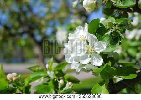 Blossoming Flowers On The Apple Tree.flowering Branch Of Apple. Blooming Spring Garden. Blurred Back
