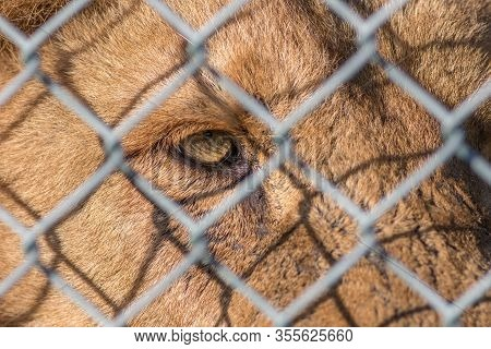 Caged Animal. Eye Of The Beast. Close-up Of Beautiful Zoo Lion Looking Through Fence. Weeping Eye In