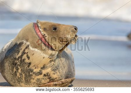 Animal Welfare. Injured Seal Suffering From Horrific Neck Wound By Discarded Fishing Net Line. Plast