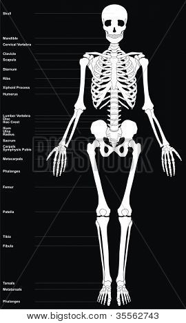 Human Skeleton (All Major Bones of Human Body) in anatomical position - Front View - Helpful Educational Diagram)