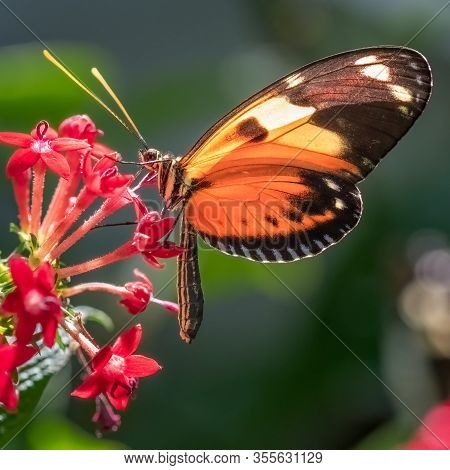 Tiger Longwing Butterfly Resting On A Red Penta Flowers