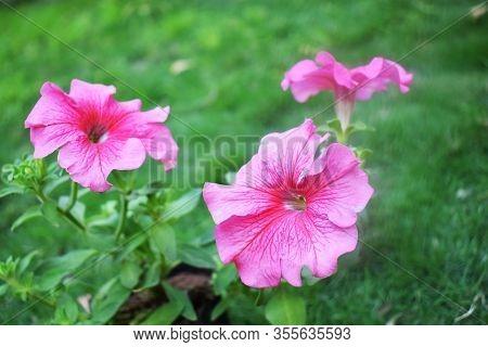 Petunia, Petunia Axillaris, Petunia Bravo Plum,light Pink Petunia Hybrida, Multiflora Petunia Bunch